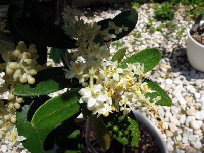 開花したピッチョリーネの花