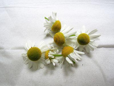 収穫したジャーマンカモミールの花