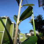 今年(2017)も現れたスズメガの幼虫にオリーブのフラントイオの葉を食われる