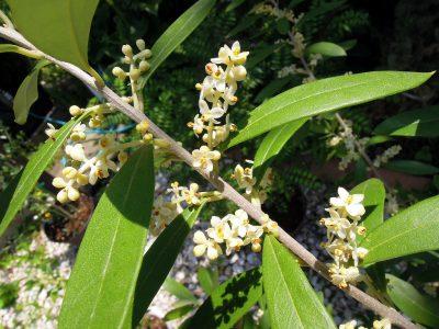 開花したシプレッシーノの花