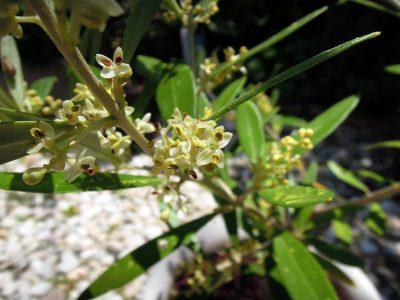 開花したコロネイキの花