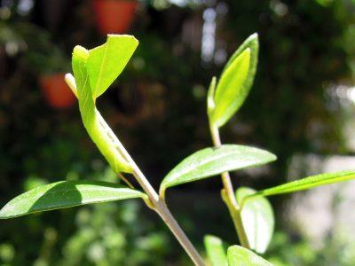 シルベストリスの葉をむさぼり食うスズメガの幼虫