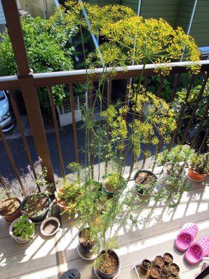 草丈130cmくらいまで生長し、黄色い花を咲かせたディル