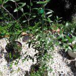 フラントイオにつづいてシルベストリスとシプレッシーノの葉がスズメガの幼虫に食われる