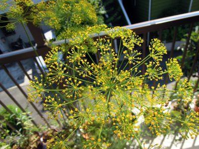 観賞用としても大きな魅力があるディルの黄色い花