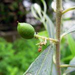 我が家のオリーブのうちシプレッシーノ、コロネイキ、ピッチョリーネ、ネバディロブランコの4種が実をつける