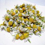 秋蒔き(2016)で育てたジャーマンカモミールをハーブティー用に乾燥させ、保存する