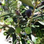 我が家のオリーブ、シプレッシーノ、ピッチョリーネ、コロネイキの実が熟してきた