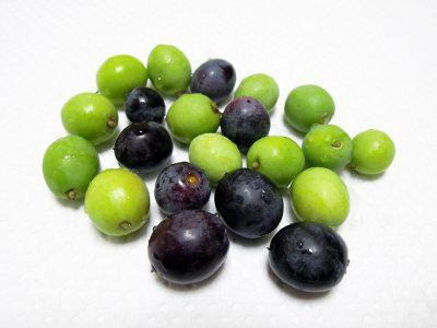 収穫したピッチョリーネの実