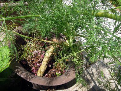 茎の根元に近い部分は太くなり、木質化しているように見える