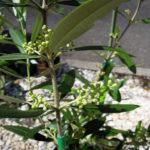 コガネムシの幼虫に根を食われたオリーブのネバディロブランコが完全復活