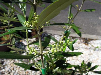ネバディロブランコの花芽