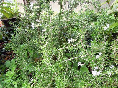 地植えにした半匍匐性のローズマリー