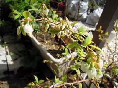 2018年の春を向かえ花を咲かせるブルーベリーのジョージアジェム