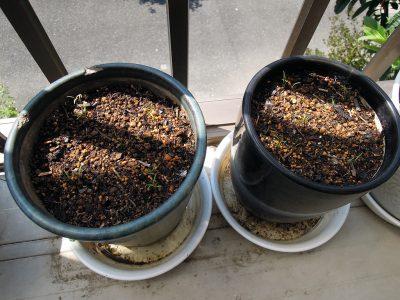 昨年収穫したディルの種を蒔いた鉢
