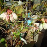 ブルーベリーのジョージアジェムとガルフコーストが2018年の春を迎えて開花したが…