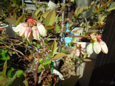 あまり花芽をつけていないブルーベリーのガルフコースト