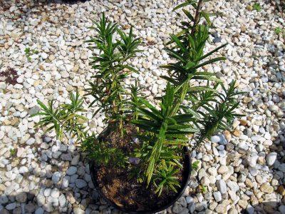 鉢植えのままの立性のローズマリー