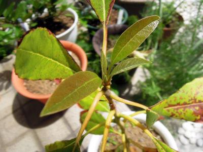 冬のあいだに一度枯れたように見えた先端から新しい芽を出したアボカド