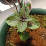 こぼれ種から芽を出したディル、イタリアンパセリ、バジル、三つ葉とかろうじて冬を越したバジル マジックマウンテン