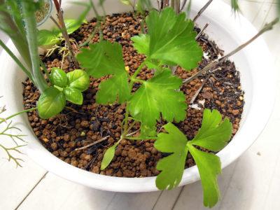 こぼれ種から芽を出したイタリアンパセリ