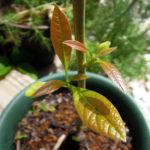 冬の厳しい寒さをなんとか乗り越え、新しい芽を出したアボカド