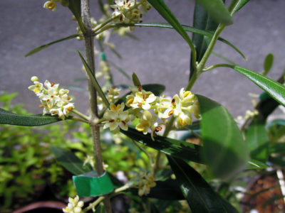 2018年のネバディロブランコの開花が始まる