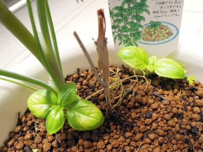 こぼれ種から芽を出したバジル