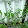 今年(2018年)もそろそろかと思っていたら、シルベストリスについたスズメガの幼虫を発見