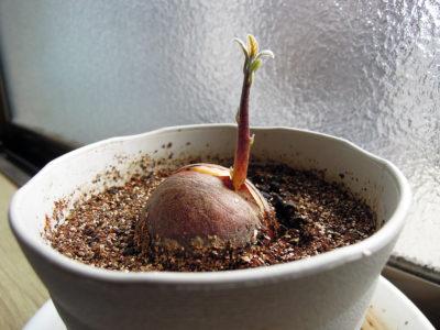 芽を出したペルー産アボカドの種