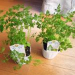 弘明寺商店街の花屋COCOhanaでチャービル(セルフィーユ)の苗を購入し、オムレツをつくる