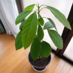 屋内で育てているペルー産アボカドの植え替え
