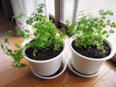 鉢に植え替えたチャービル(セルフィーユ)