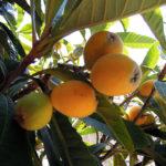 庭のビワの木にたくさん実がなったので、収穫してビワジャムをつくってみた