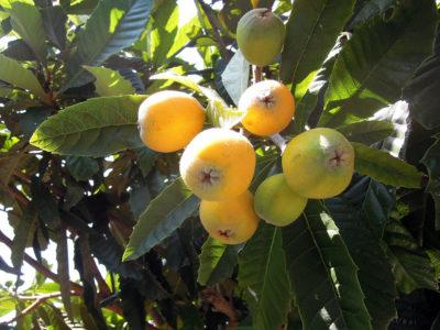 庭のビワの木に実がなる