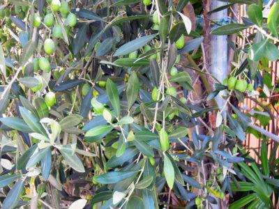 たくさんの実をつけたオリーブの木