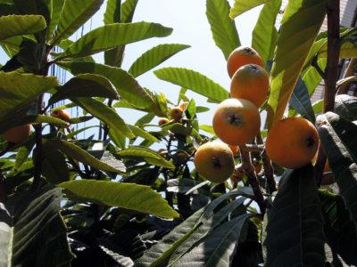 一度目の収穫のあとでまた熟してきたビワの実
