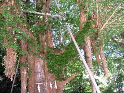 樹齢約800年の見事なご神木