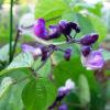 令和農園日記2019:イタリアのつるなしインゲン、ファジョリーニ・ミスティの発芽から間引き、花芽、倒伏防止の支柱、開花まで