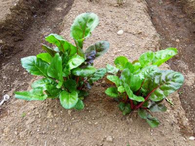 苗を植えてから2週間後のスイスチャード