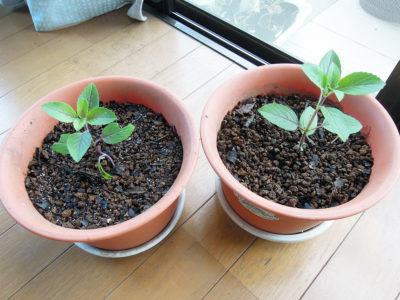 バジル マジックマウンテンを鉢に植えてから5日後の様子