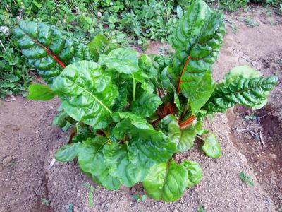 苗を植えてから4週間後のスイスチャード