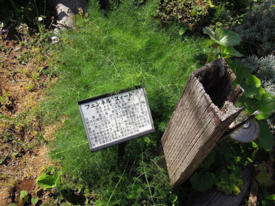 庭園に植えられているフェンネル