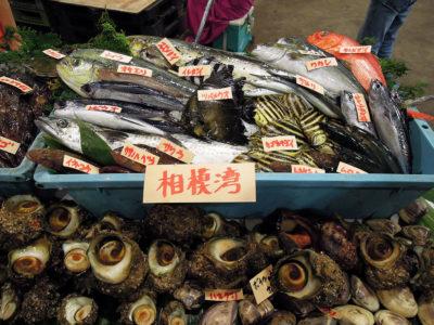 相模湾の魚介の展示