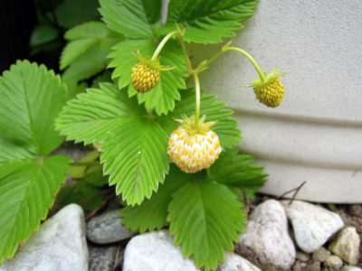 オリーブの木の鉢の脇で成長し、実をつけたワイルドストロベリー