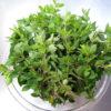 地植えで伸び放題になっていたグリークオレガノを収穫し、乾燥させて保存する