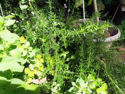 地植えで育てている半匍匐性のローズマリー