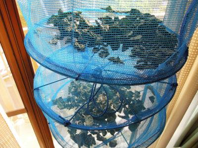 収穫したレモンバームの葉をダイソーの野菜干しネットで乾燥させる