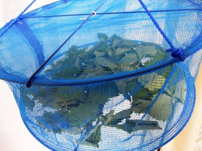 ワイルドストロベリーの葉を野菜干しネットで乾燥させる