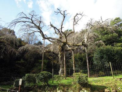 枝を支えられた長興山の枝垂桜
